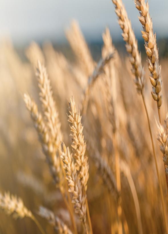 bg champ de blé